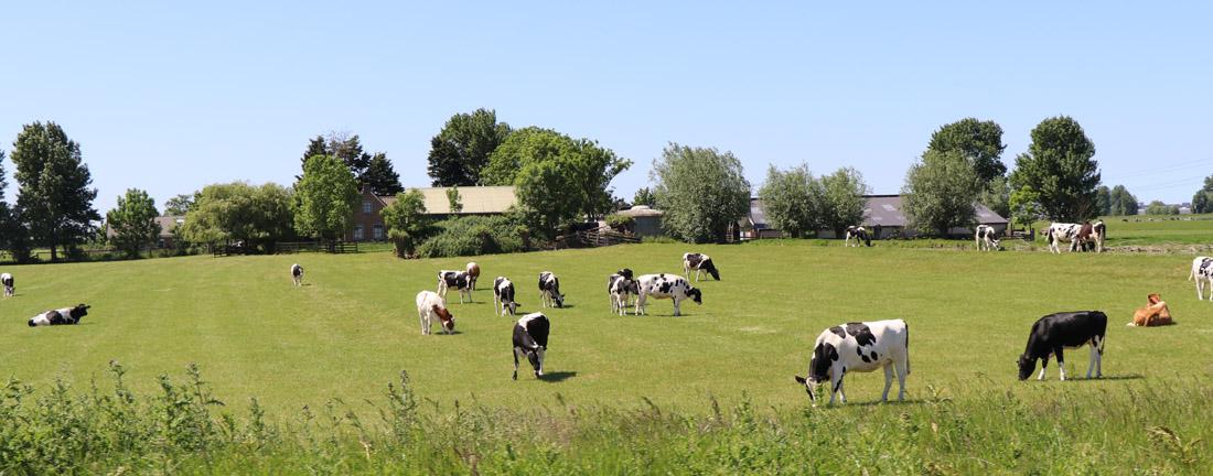 Tussen Westlands vee